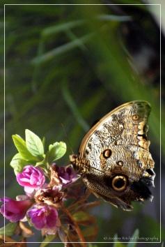 Bellagio Butterfly