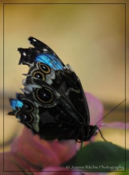 Bougainvillea Butterfly