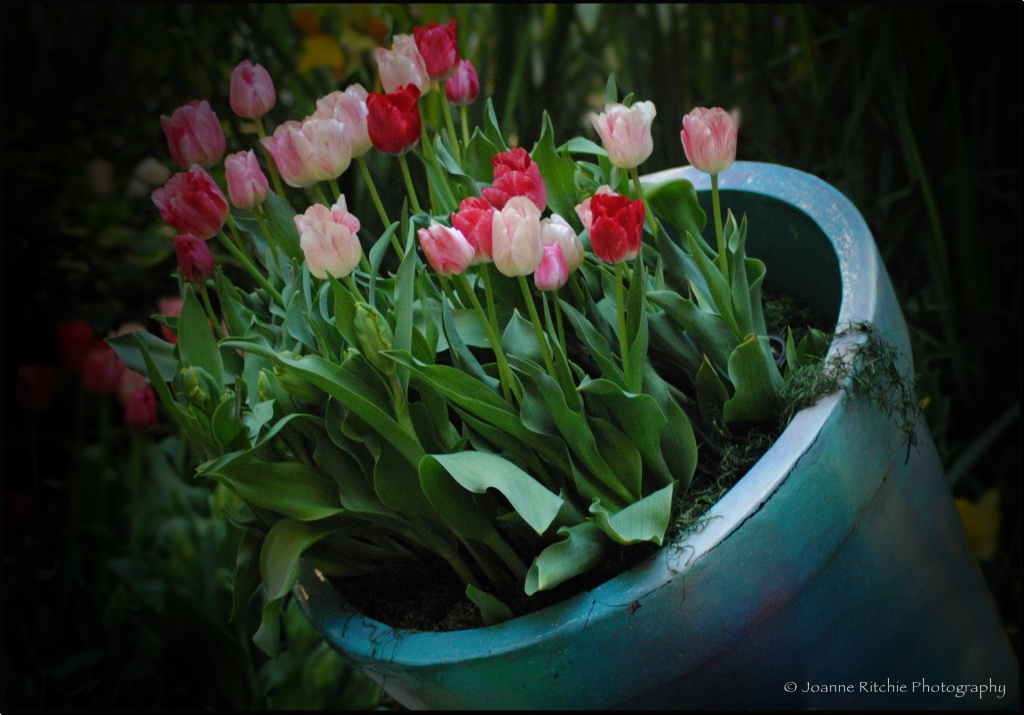 Tulips Tipping the Hand of Beauty