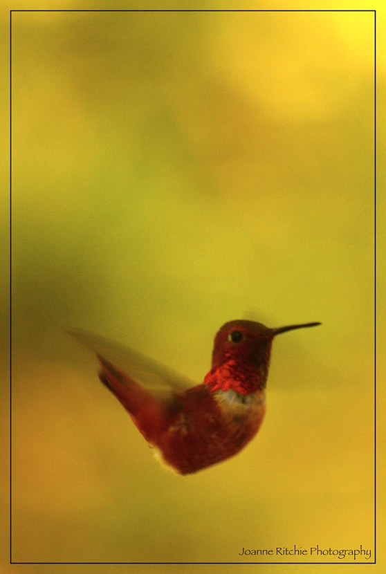 Hummingbird Motion!