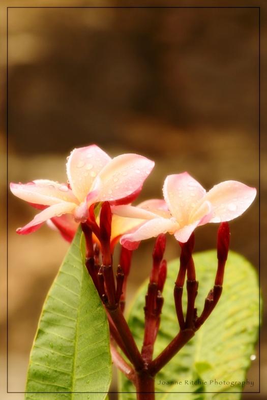 Blushing Pale Pink Frangipani