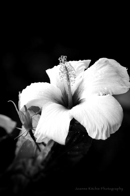 Hibiscus MM2-10