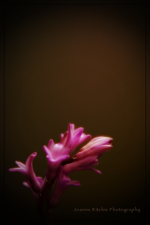 Hyacinth in the Morning Light