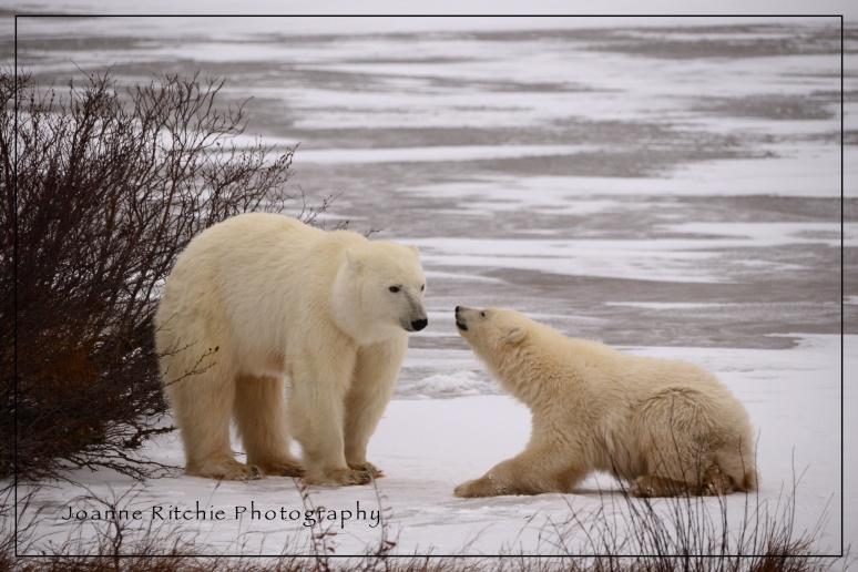 Polar Bear MM2-12 Color