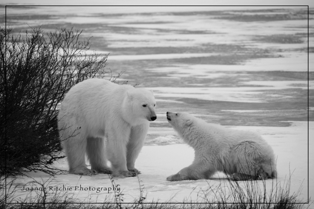 Polar Bears MM2-11