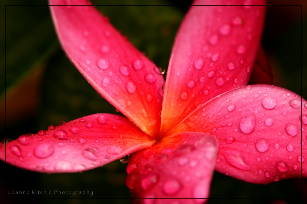 Up Close Hot Pink Frangipani