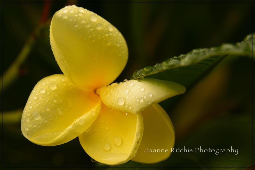 Raindrops on Frangipani Petals