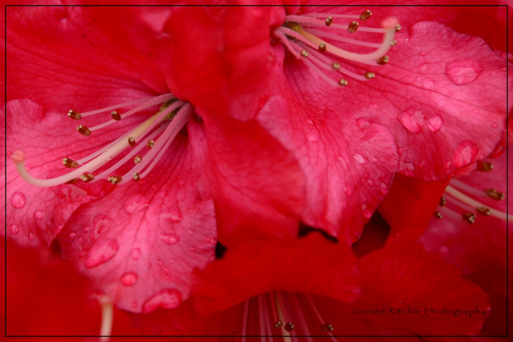 Raindrops on Rhododendrons