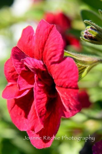 Red Summer Flower