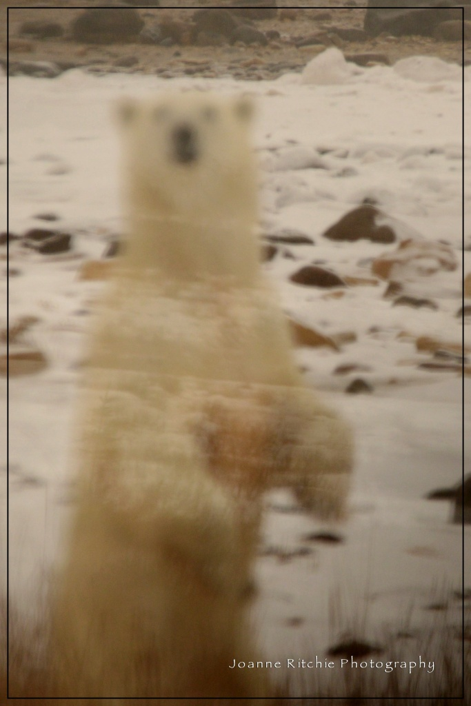 Polar Bear Transparency