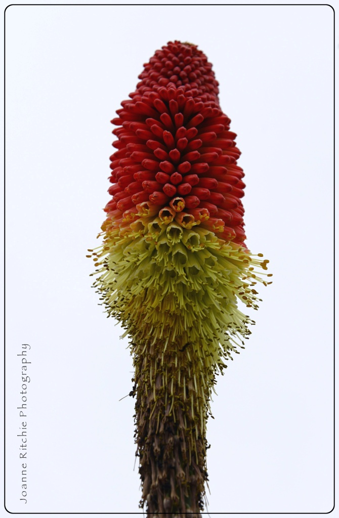 Fire Poker Flower