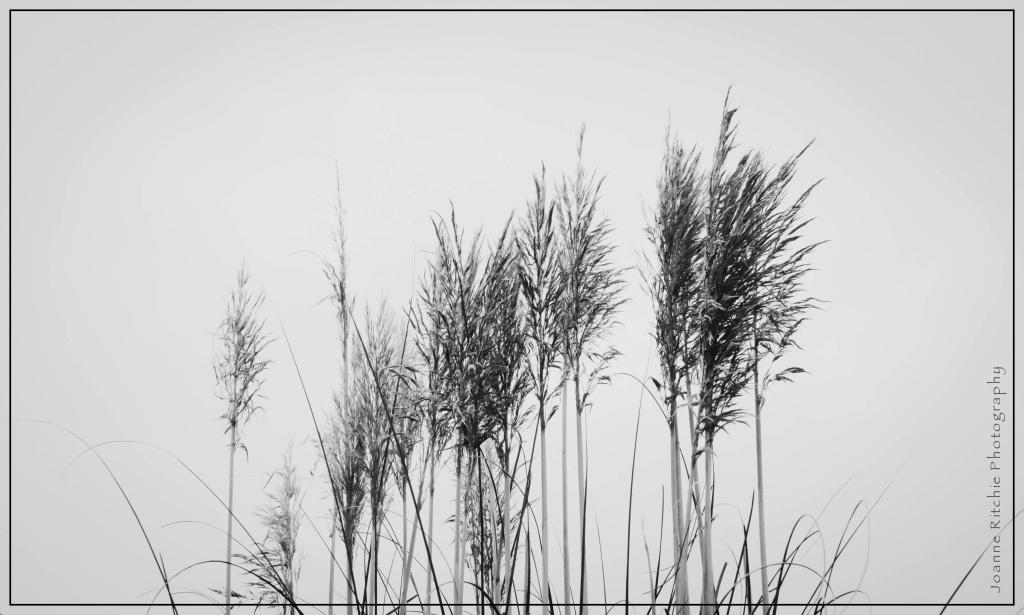 Tofino Grass