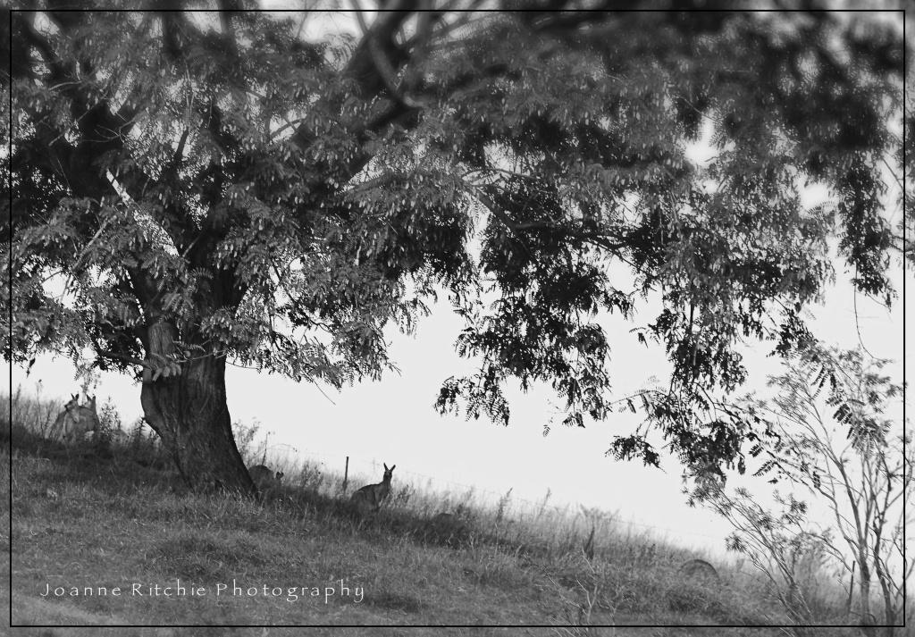 Country Kangaroos MM27