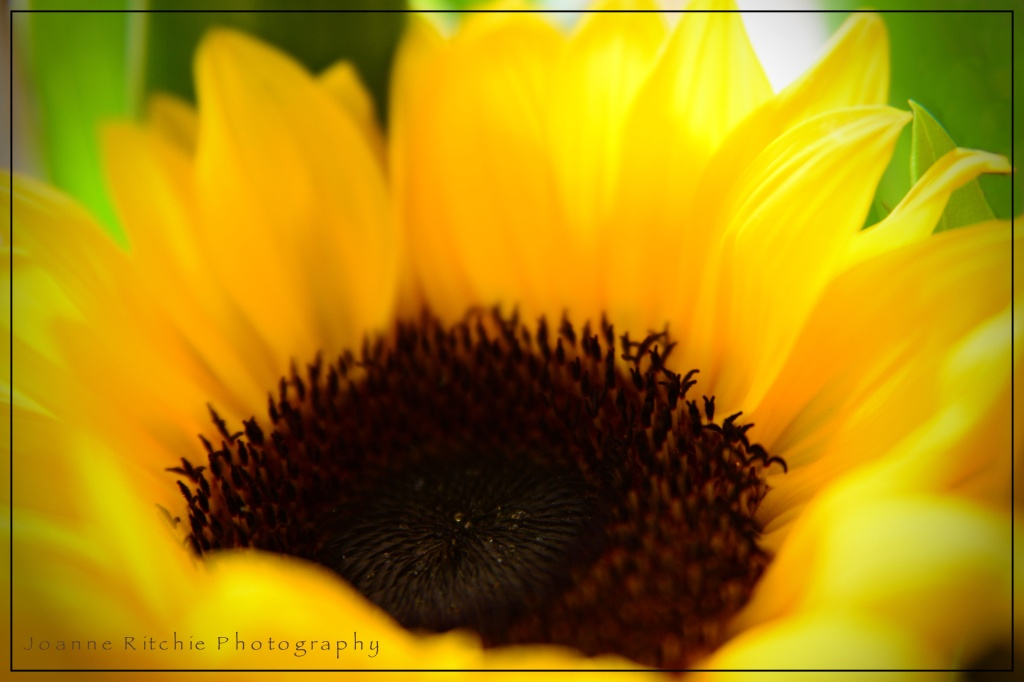 Sunflowers in the Sunlight