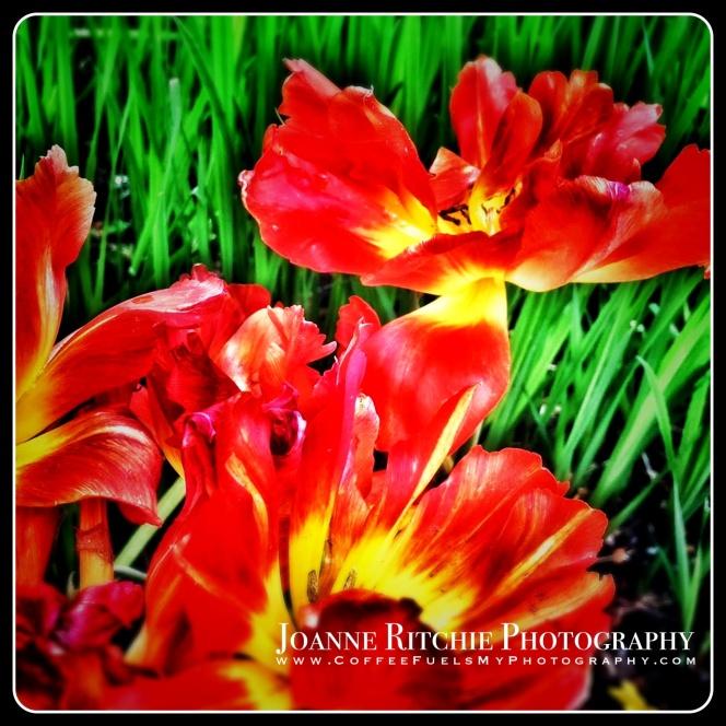 Tweaked Tulips