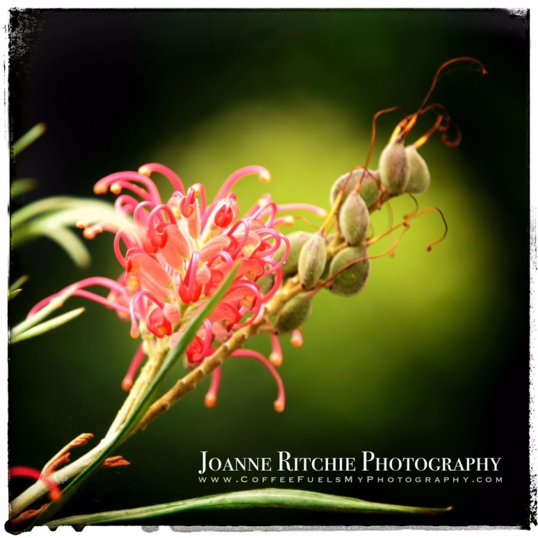 Grevillea Blooms