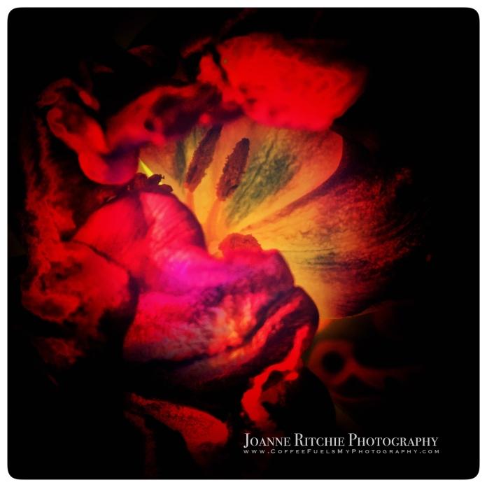 last-tulip