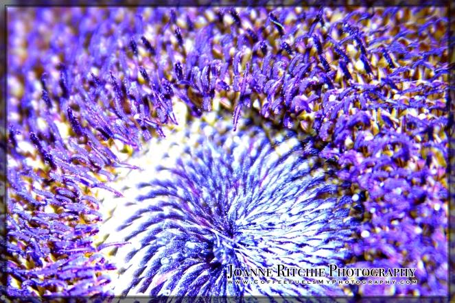 purple-pickings