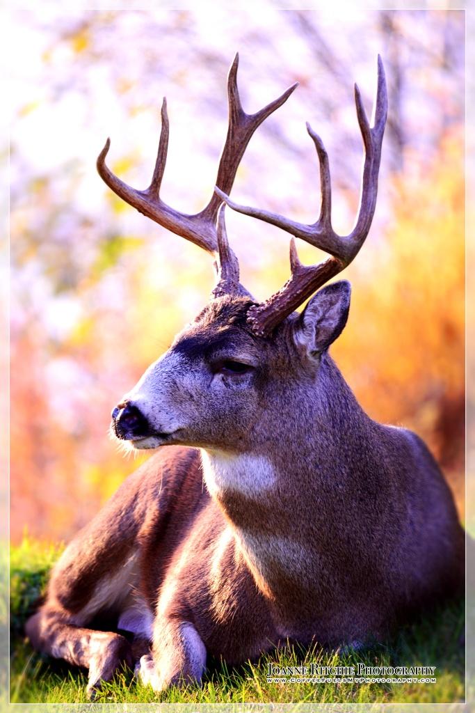 elder-buck