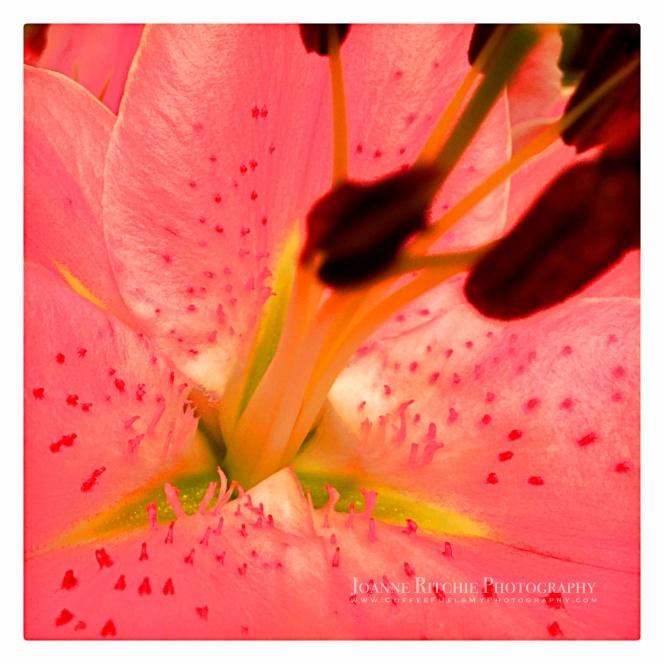 lily-elongation