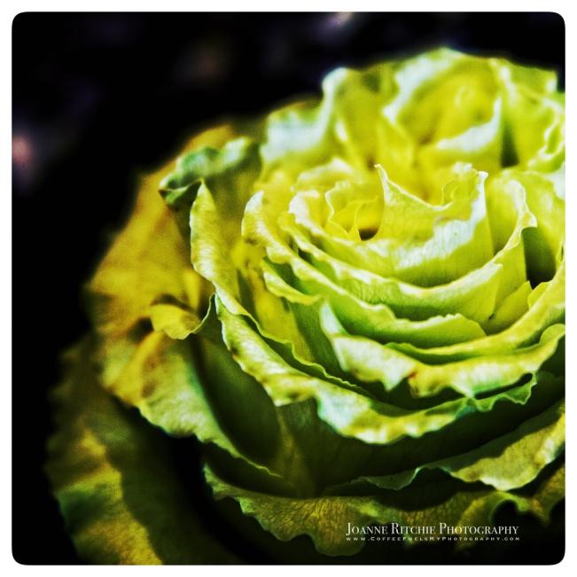 revealing-rose